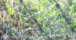 wild asparagus Umbria