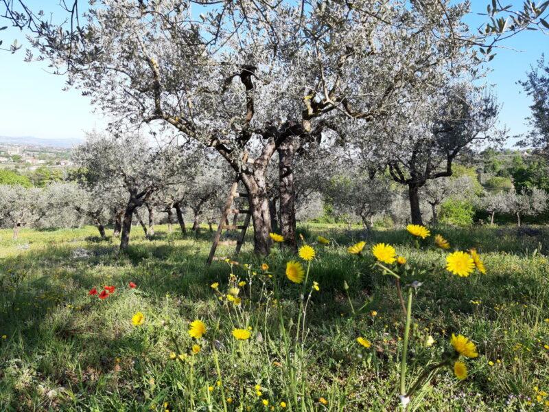 olive grove Umbria