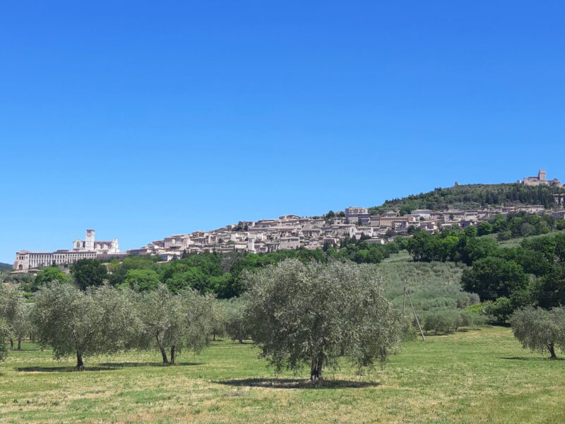 Assisi olive grove