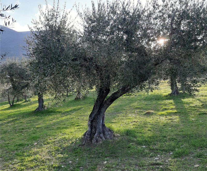 olive tree Umbria