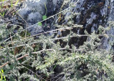 Wild Asparagus (Asparagus Acutifolius)
