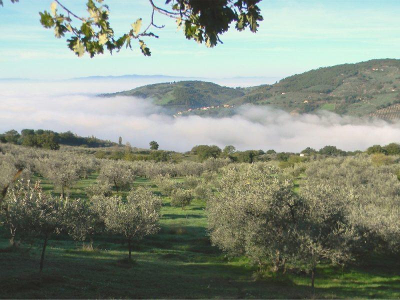 olijfboomgaarden in Umbrie