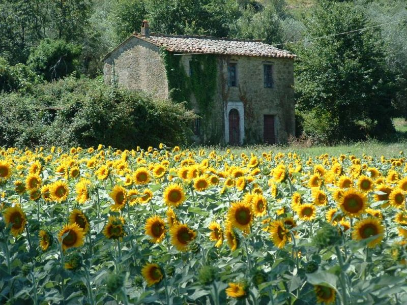 Sunflowers Umbria