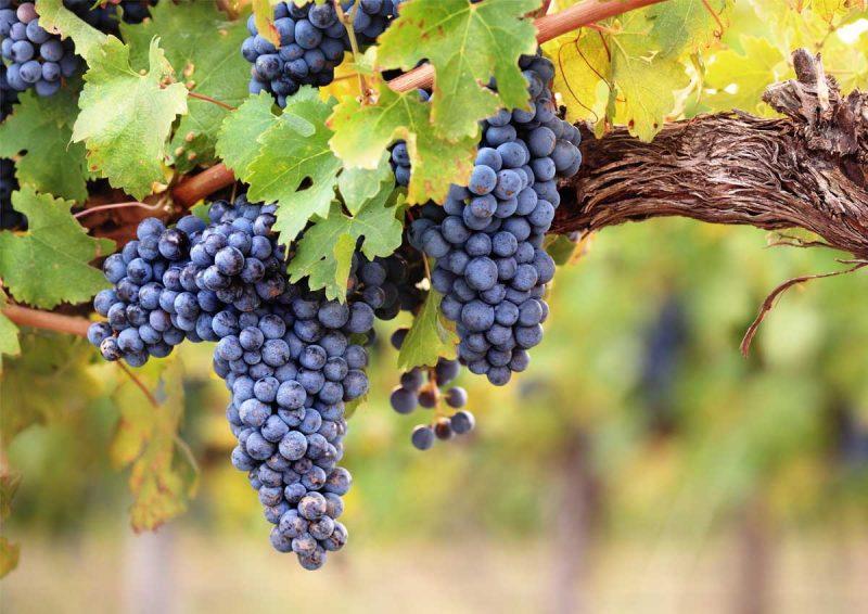 wijngaarden in Umbrie