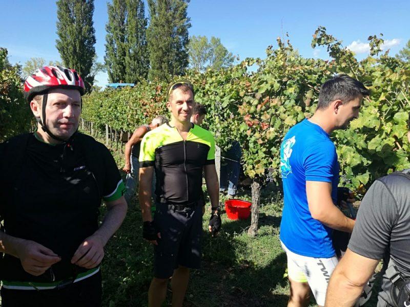 fietsers en wijnoogst